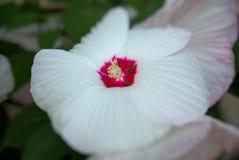 Weiße Blume des Hibiscus Moscheutos stockbild