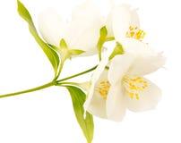 Weiße Blume des Jasmins Stockfotos
