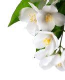 Weiße Blume des Jasmins auf weißem Hintergrund Stockbilder