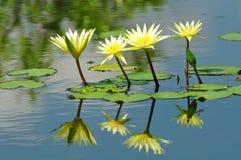 Weiße Blume des Lotos lizenzfreie stockfotografie