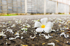 Weiße Blume des Plumeria Lizenzfreie Stockfotografie