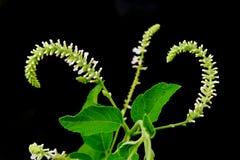 Weiße Blume des Schmetterlingsbusches lokalisiert auf schwarzem Hintergrund Lizenzfreie Stockfotografie