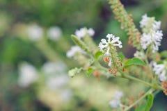 Weiße Blume des Schmetterlingsbusches mit unscharfem Hintergrund Lizenzfreie Stockfotografie