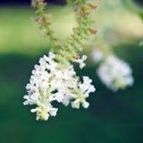 Weiße Blume des Schmetterlingsbusches mit unscharfem Hintergrund Lizenzfreie Stockfotos