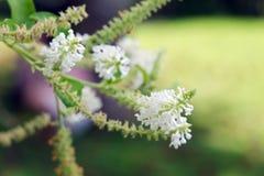 Weiße Blume des Schmetterlingsbusches mit unscharfem Hintergrund Stockbilder