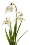 Weiße Blume des Snowdrop- Frühlinges (Galanthus nivalis) Stockfotografie