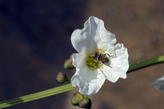 Weiße Blume, die durch Spezies der Fliege bestäubt wird Stockfotografie
