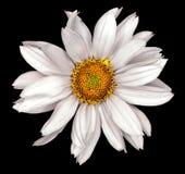 Weiße Blume einer dekorativen Sonnenblume Helinthus lokalisierte Lizenzfreie Stockfotos