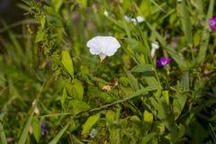Weiße Blume einer Schmerle mit grünen Blättern Lizenzfreies Stockbild
