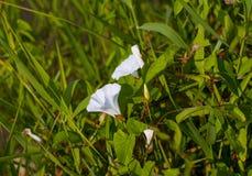 Weiße Blume einer Schmerle mit grünen Blättern Stockfotografie