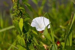 Weiße Blume einer Schmerle mit grünen Blättern Lizenzfreies Stockfoto
