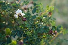 Weiße Blume eines Blühens wild stieg herein unter grünen Blättern Lizenzfreie Stockfotografie