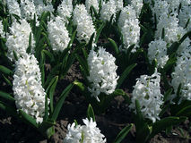 Weiße Blume geotsint Lizenzfreies Stockfoto
