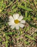 Weiße Blume im Frühjahr Stockbild