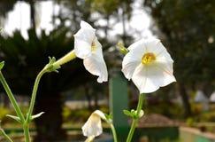 Weiße Blume im Garten lizenzfreie stockbilder