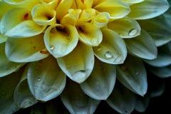 Weiße Blume im Makro mit Wassertropfen stockfoto
