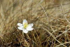 Weiße Blume im trockenen Gras Stockbild