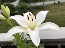 Weiße Blume im Wald Lizenzfreies Stockbild