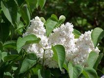 Weiße Blume im Wald stockfoto