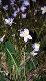Weiße Blume im Wald Lizenzfreie Stockfotos