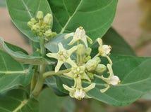 Weiße Blume, Kronenblume Stockfotografie
