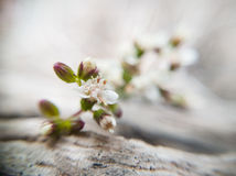 Weiße Blume - Makro Lizenzfreie Stockbilder