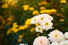 Weiße Blume Makro mit gelbem Blumenhintergrund Stockfotografie