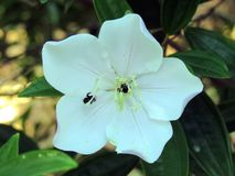 Weiße Blume mit Biene Stockfotos