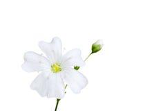 Weiße Blume mit der Knospe Stockfotos