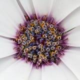 Weiße Blume mit einem purpurroten Herzen Stockbilder