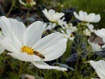 Weiße Blume mit einer Biene 3 stockbild