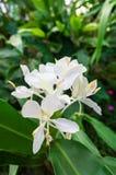 Weiße Blume mit gelbem Stempel stockfotos
