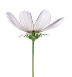 Weiße Blume mit grünem Stamm auf einem weißen Hintergrund Stockbild