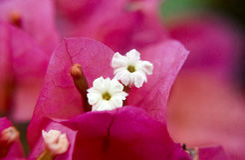 Weiße Blume mit rosa Hintergrund Stockbild