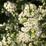 Weiße Blume mit Tau Stockbild