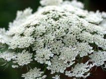 Weiße Blume mit Zahnstangen-Fokus Stockfotografie