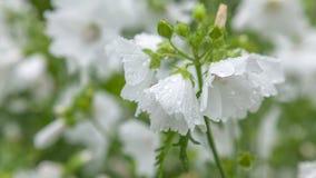 Weiße Blume nach Regen Lizenzfreie Stockfotografie