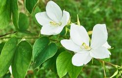 Weiße Blume, Snowy-orchideenbaum, im grünen Garten Stockfotos