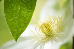 weiße Blume und Blatt Stockfotografie