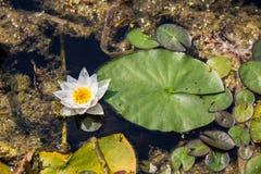Weiße Blume und grüne Blätter von verschiedenen Größen der Seerose im Sommer überfluten Lizenzfreie Stockfotos