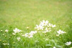 Weiße Blume und grünes Gras für Hintergrund lizenzfreie stockfotos