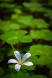 Weiße Blume unter dem Klee lizenzfreie stockfotografie
