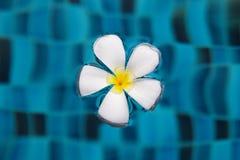 Weiße Blume von Frangipani auf einer blauen Oberfläche eines Swimmingpools stockbild