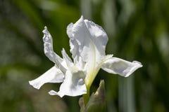 Weiße Blume von Iris sibirica im Garten, Abschluss oben Lizenzfreie Stockfotos