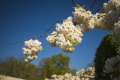 Weiße Blume von Keukenhof stockfotos
