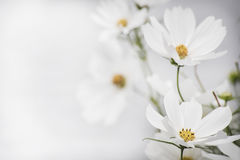 Weiße Blume zwei im Fokus auf linker Seite Lizenzfreie Stockfotografie