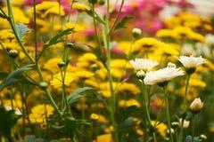 Weiße Blume zwischen den gelben Blumen Stockfotos