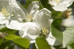 Weiße Blumen lizenzfreie stockbilder