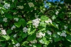 Weiße Blumen Lizenzfreie Stockfotografie