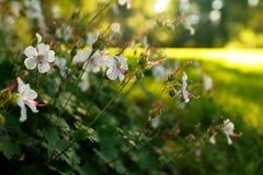 Weiße Blumen am Abend Sun Stockfotografie
